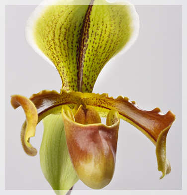 orchidee-aprosio-paphiopedilum-dixonia