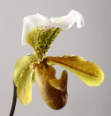 orchidee-aprosio-paphiopedilum-festival