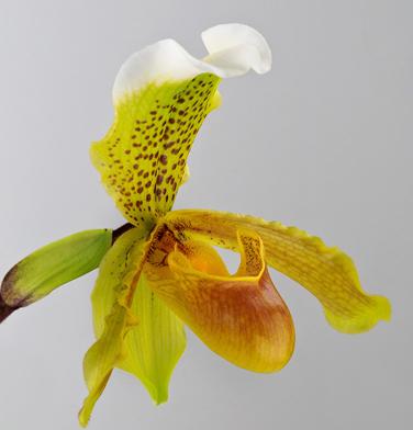 orchidee-aprosio-paphiopedilum-insigne