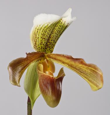 orchidee-aprosio-paphiopedilum-keller