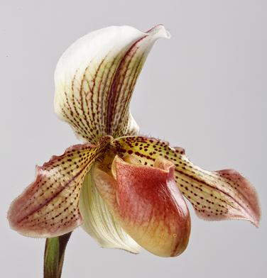 orchidee-aprosio-paphiopedilum-ketty