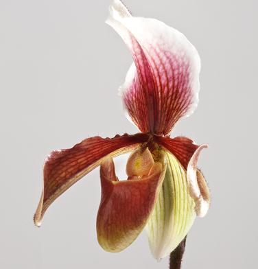 orchidee-aprosio-paphiopedilum-king-arthur-alexanderi