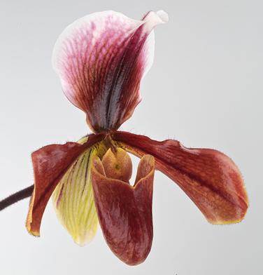 orchidee-aprosio-paphiopedilum-king-arthur-bourgogne