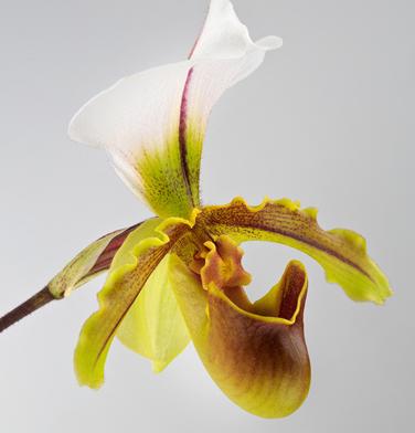 orchidee-aprosio-paphiopedilum-leanum