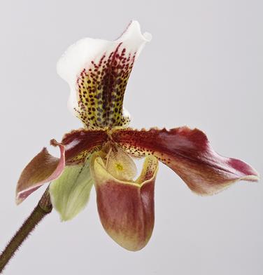 orchidee-aprosio-paphiopedilum-sanremo