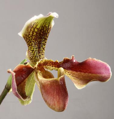 orchidee-aprosio-paphiopedilum-van-dyck