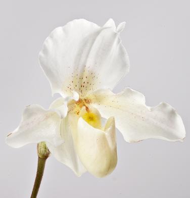 orchidee-aprosio-paphiopedilum-rosy-down